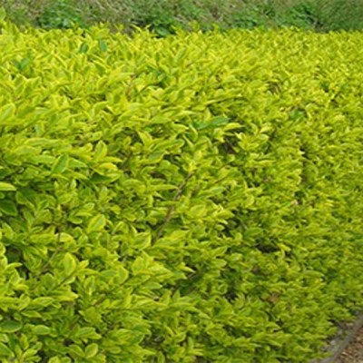 Golden Privet 5L