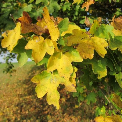 Field Maple 'Acer Campestre'