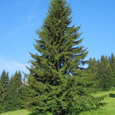 Norway Spruce 'Picea Abies'