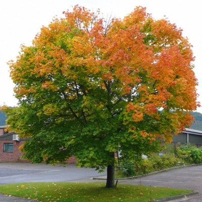 Norway Maple 'Acer Platanoides'