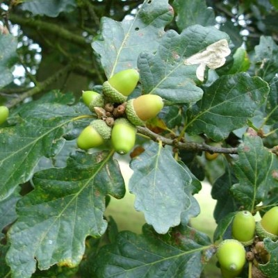 Oak 'Quercus Robur'