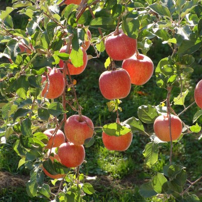 Apple Tree 'Braeburn'