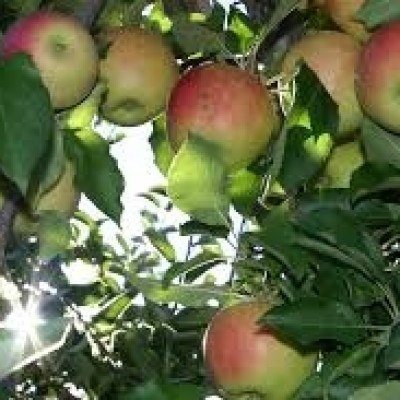 Apple Tree 'Discovery'