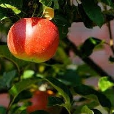 Apple Tree 'Jonagold'