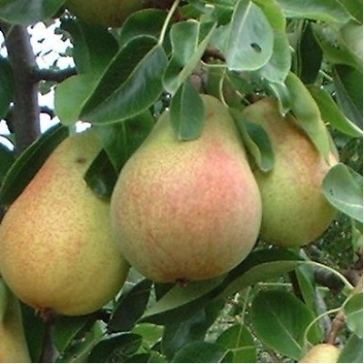 Pear Tree  'comm.Clapps Favourite'