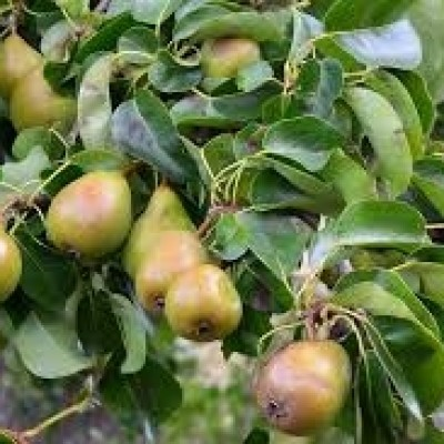 Pear Tree 'comm. Conference'
