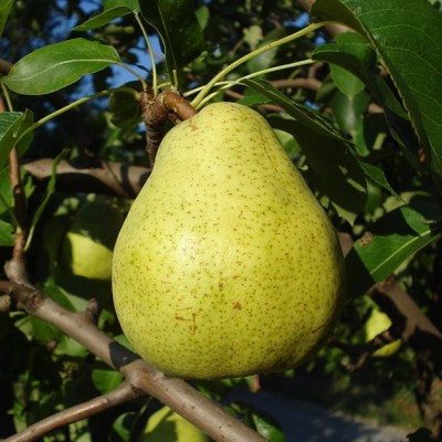 Pear Tree 'comm. Doyenne du Commice'