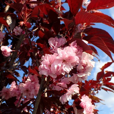 Prunus royal burgundy 9x9