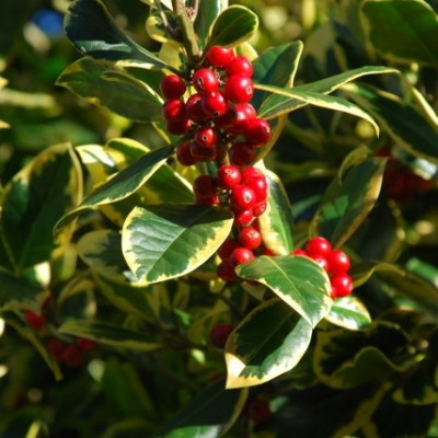 Holly Ilex 'Golden King' 2L