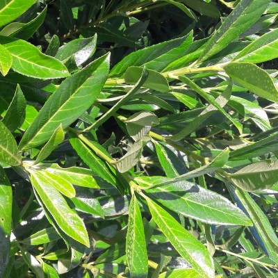 Laurel 'Prunus Caucasica'  5L