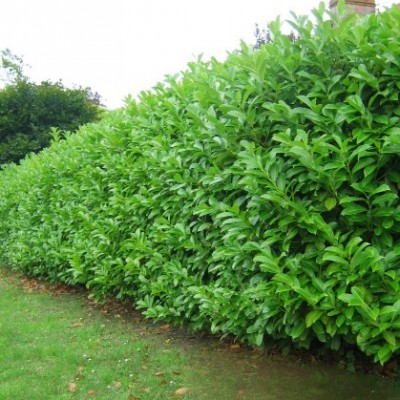 Laurel 'Prunus Rotundifolia'  3L