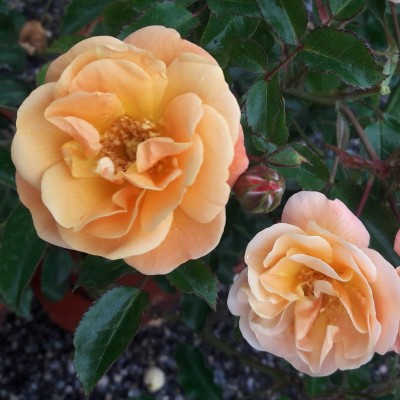 Flower Carpet Rose 'Amber'