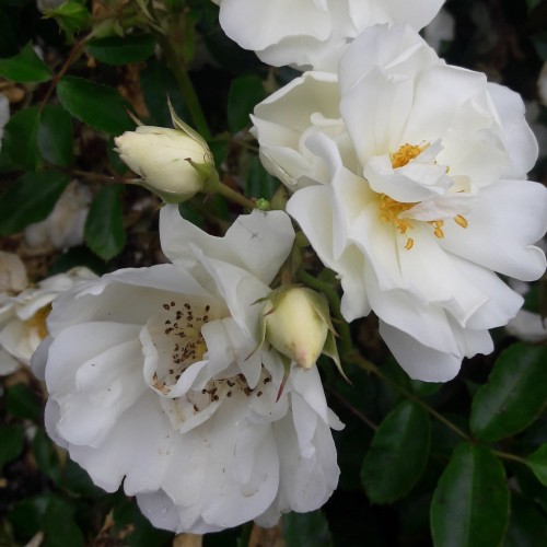 Carpet rose white flower carpet rose white mightylinksfo Image collections