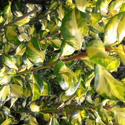 Holly Ilex alt 'Lawsoniana' 2L