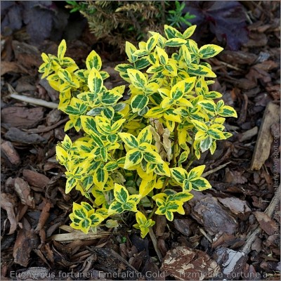 Euonymus 'Emeral&Gold' 2L